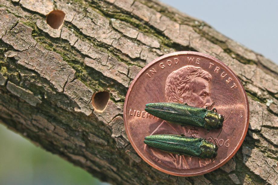 Photo from LENXA.com Although small, the Emerald Ash Borer is detrimental to Michigan's ecosystems. The insect is an exotic, invasive species that infests and kills North American ash trees.