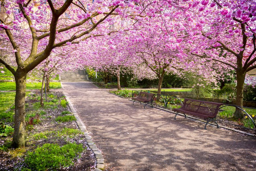 Blooming+Cherry+tree+flowers+in+beautiful+park+area
